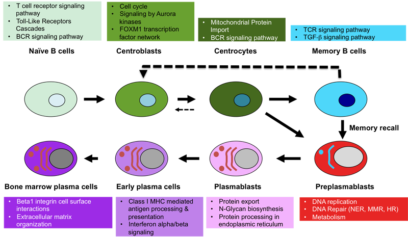 Genomicscape nave b cell to plasma cell figure 2 publicscrutiny Gallery